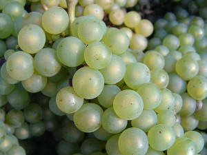 Chardonnay grapes after harvesting